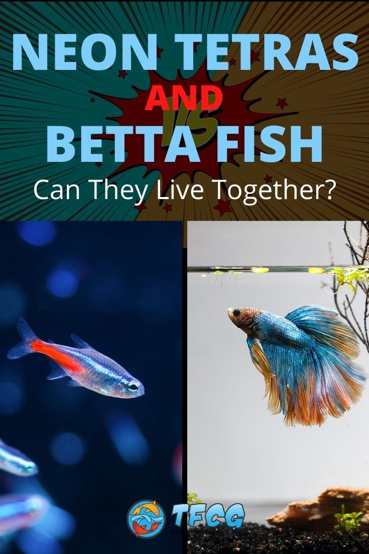 Can Neon Tetras And Bettas Live Together Tfcg In 2020 Betta Fish Neon Tetra Betta