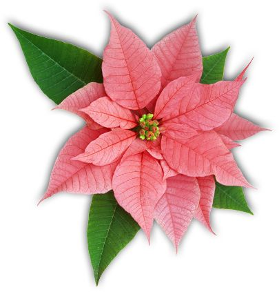 Caring For Poinsettias The Poinsettia Pages University