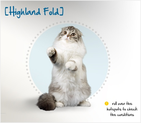 The Highland Fold is the long-haired variety of the cat known as the Scottish Fold, so-called for their folded ears. Their history can be traced back to one tiny kitten, a white barn cat named Susie, who was found at a farm in Scotland in 1961 with a unique owl-like appearance due to her folded ears. She was gathered up and used as a breeding cat, thus starting the entire breed of the Scottish Fold.