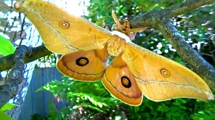Emperor Moth Prophesy!!