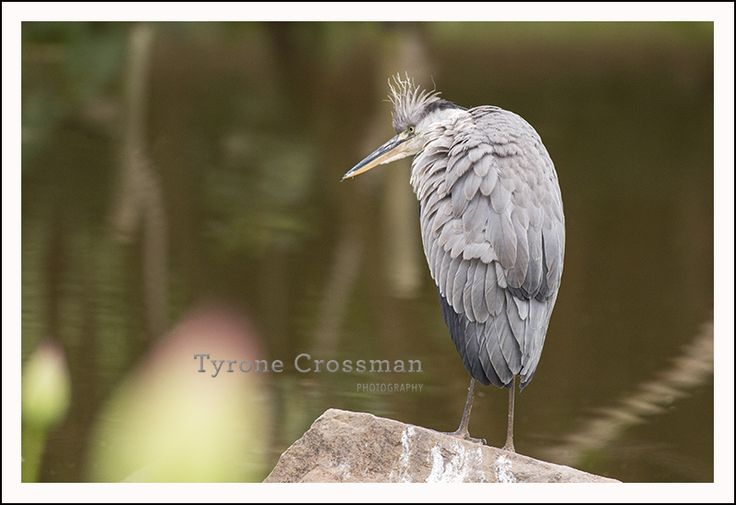 Grey Heron on a cold day