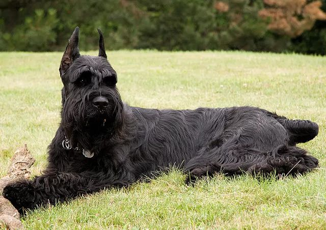 10 Best Large Dog Breeds That Don T Shed The Buzz Land Giant