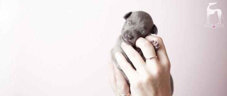 Charcik włoski szczeniak #italiangreyhound #puppy