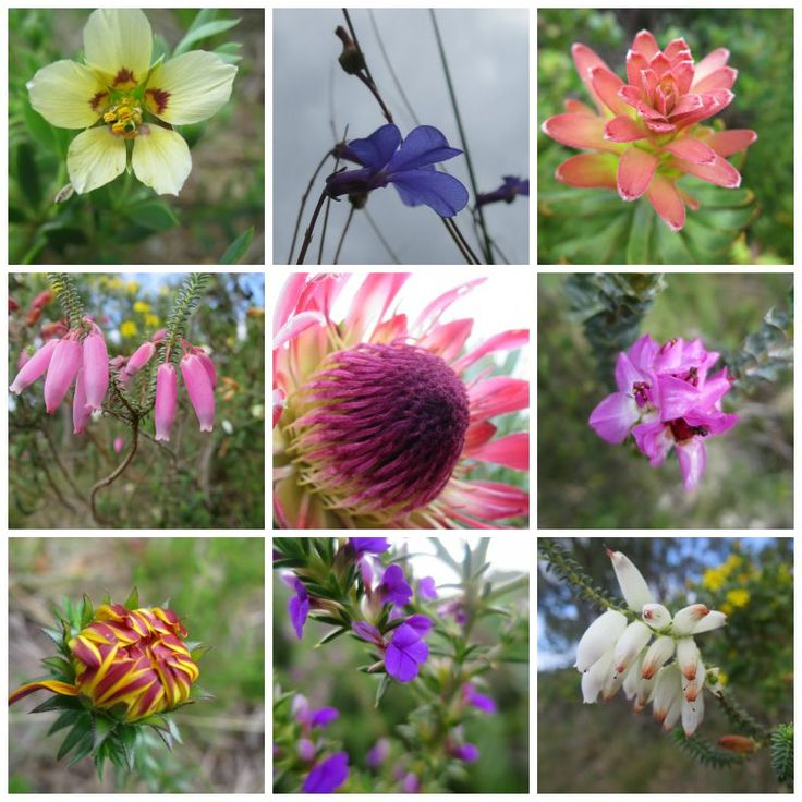 Flowers blooming the the Fernkloof Nature Reserve