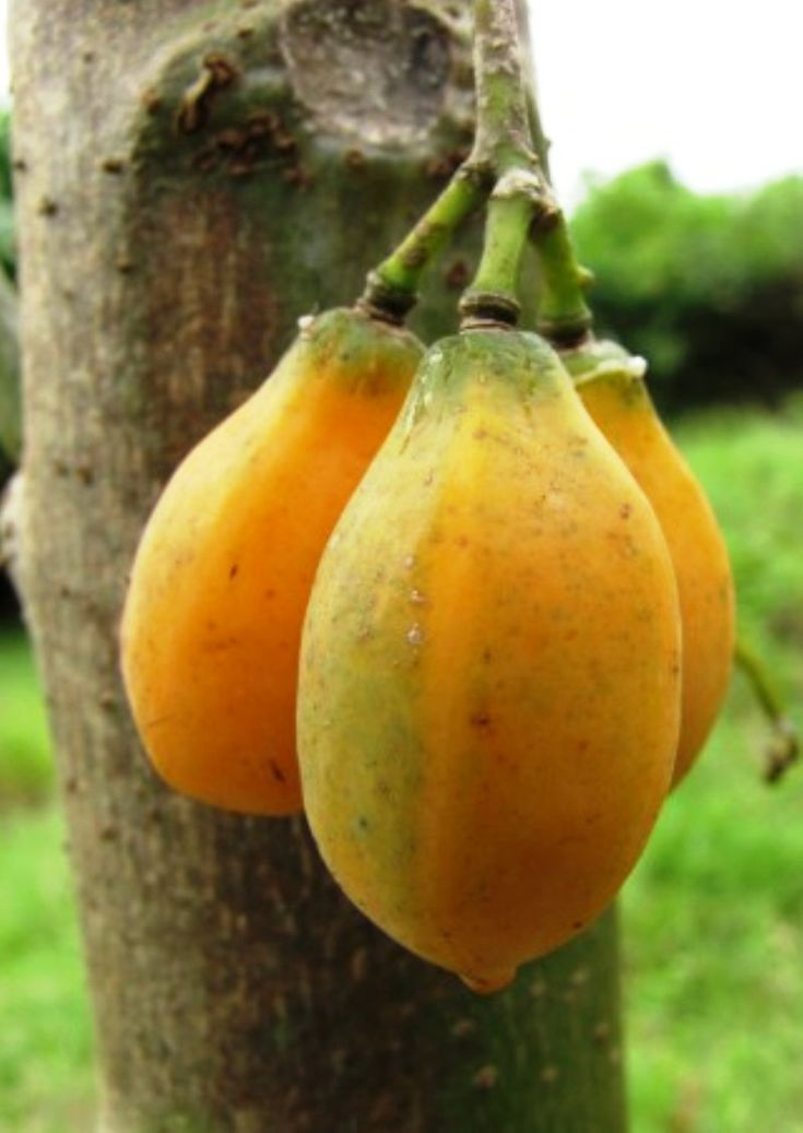 Oak leaved papaya (Carica quercifolia | Fruits | Pinterest ...