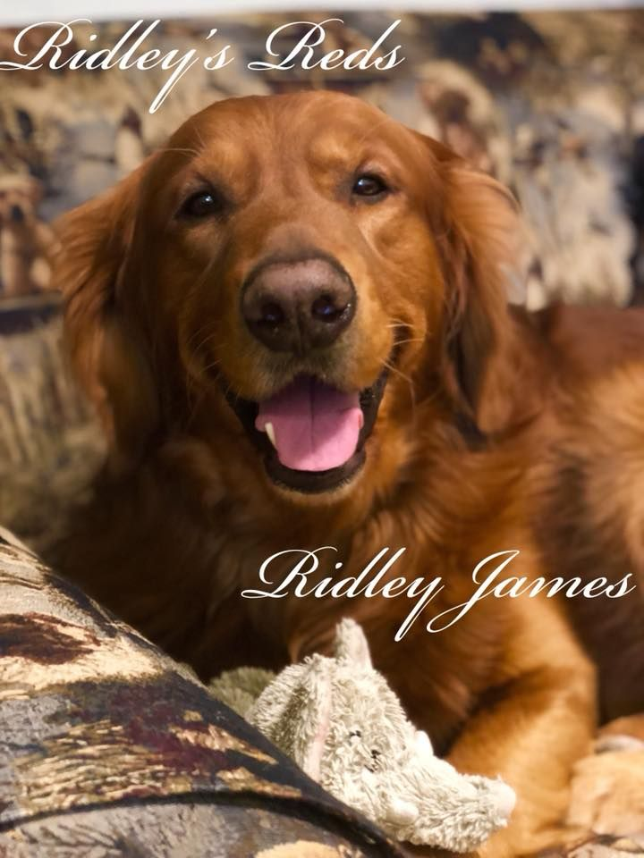 Ridley S Red Retrievers Ridley S Red Retrievers Retriever