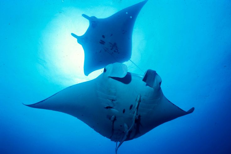 #ダイビング#石垣島#マンタ#沖縄#夏#日本#海講座#水中写真#スクーバ#旅行 #okinawa#summer#padi#scuba#diving#scubadiving#underwater#diver#ocean#marinelife#trip#japan#ishigaki#manta#mantaray#umicoza#bubbles#paradise#tropics
