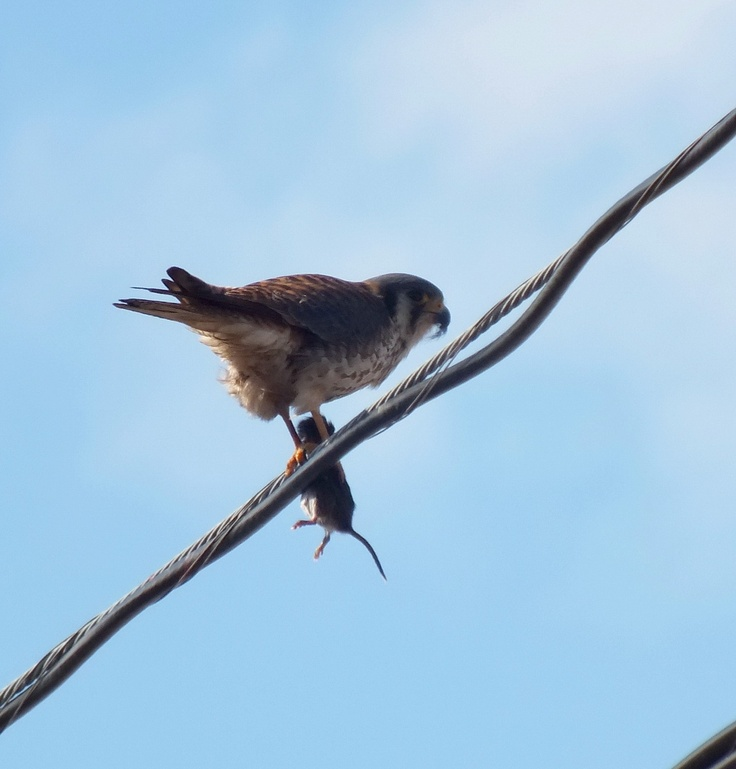 An American Kestrel eats a mouse on a hydro line in Whitby - Ontario