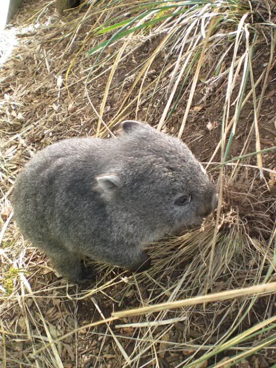 Baby wombat Images