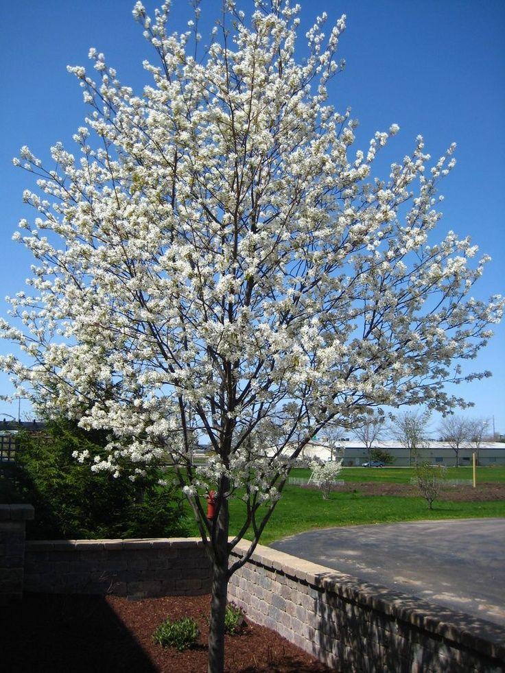 SERVICEBERRY TREE IMAGE AMELANCHIER ALNIFOLIA | Saskatoon/Serviceberry ( Amelanchier alnifolia) - a medium