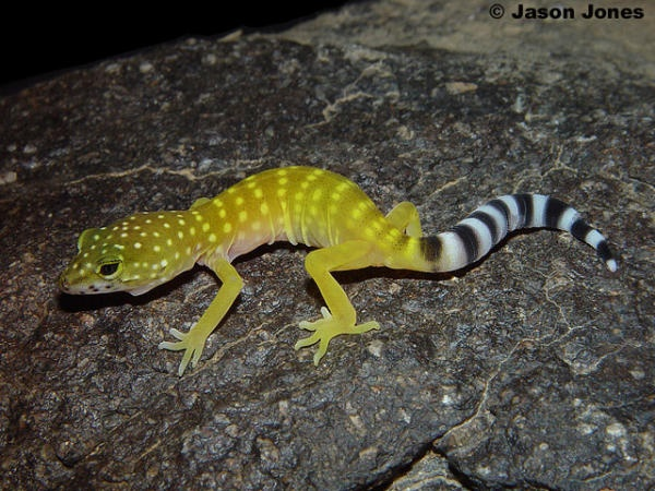 Gecko black striped