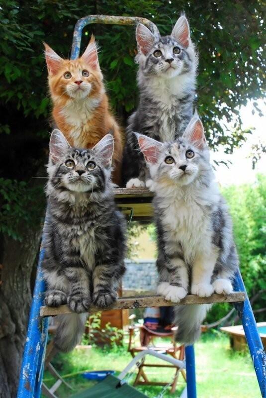 geweldige foto van Maine Coon kittens! zou ze er zo nog bij willen hebben....