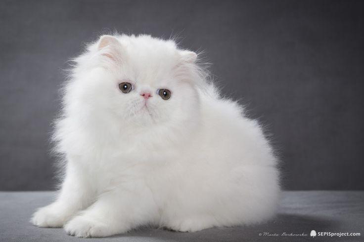 Kocilla*PL, hodowla kotów Perskich, koty Perskie