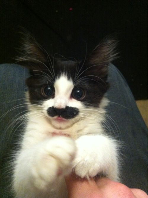 """""""I mustache you a question"""", says meow meow mr. kitty... So CoolMustaches Kitty, Kitty Cat, Charli Chaplin, Butterflies, Whiskers, Mustaches Cat, Charlie Chaplin, Kittens, Animal"""