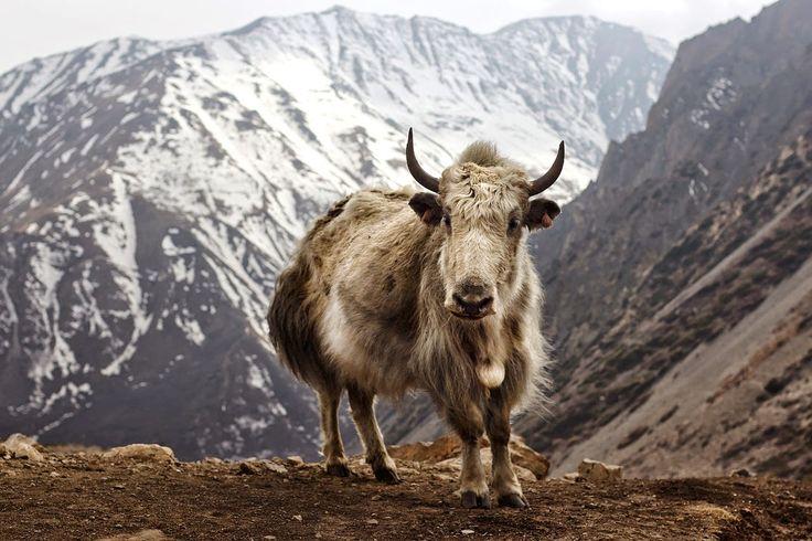A/BARENESS: // Yak Attack // Yak Wool // http://abareness.blogspot.no/2014/12/yak-attack.html