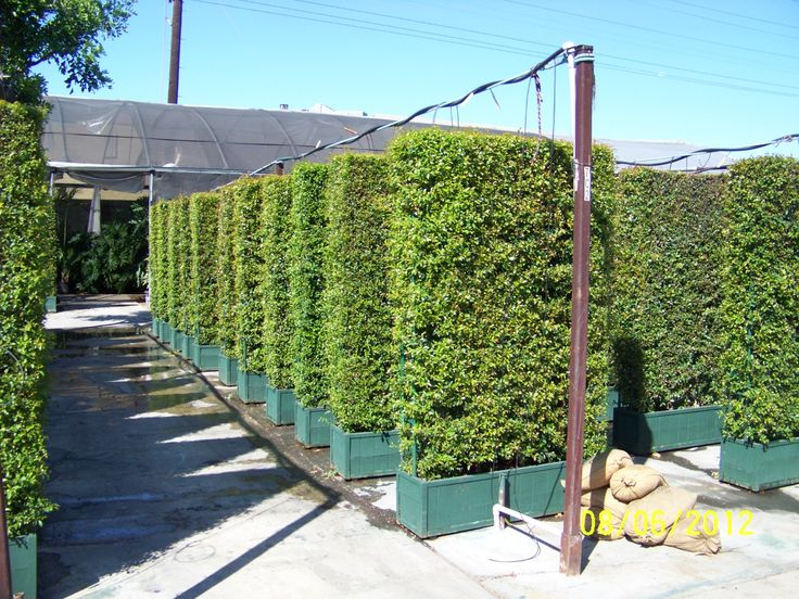 24 best images about Hedges on Pinterest | The golden ...