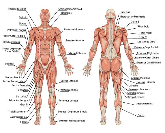 Anatomy and Physiology Anatomical Positions | Anatomical diagram ...