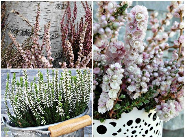 Heathers in pots/planters - wrzosy jak różyczki :-)