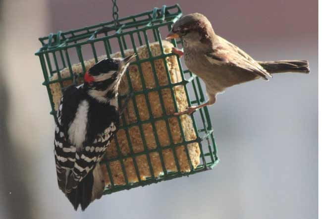 """""""I was here first!"""" Downy Woodpecker & Sparrow captured by Birds & Blooms reader Kurt Peterson in Chicago."""