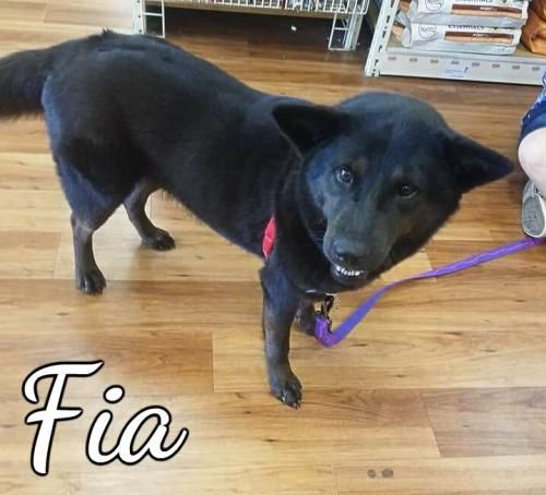 Fia - THIRD COAST ANIMAL RESCUE in Spanish Fort, AL - ADOPT OR FOSTER - 3 year old Spayed Female, 50lb., Shepherd/Chow Chow Mix - She's incredibly sweet, very affectionate and loving. Fia is great with kids. She is playful but kind and gentle. She is also dog friendly and easily makes new friends - Being in a No Kill facility isn't enough!  This girl needs a home and a family to love.  Please share! ADOPTING FROM A RESCUE SAVES THE DOG ADOPTED AND MAKES ROOM FOR ANOTHER TO BE RESCUED!