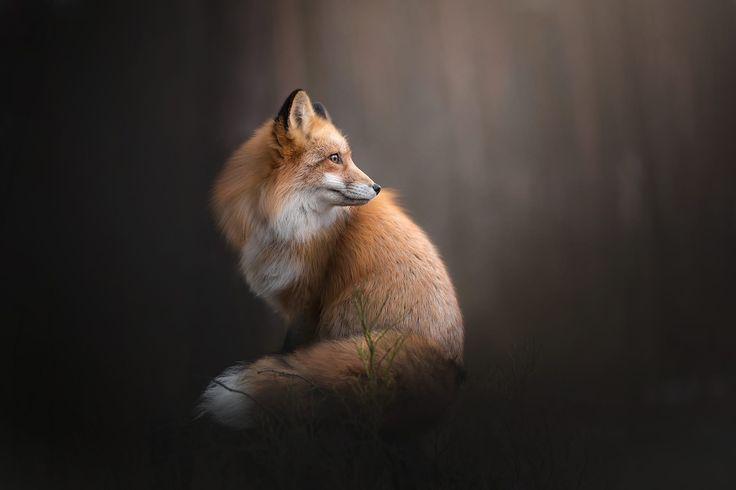 Red Fox Portrait by Alicja Zmysłowska