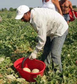 Meloni, tra caporalato al Sud e aree terremotate al Nord | Slow Food - Buono, Pulito e Giusto.