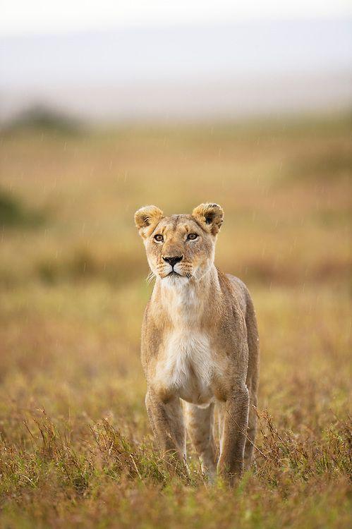Portrait of adult female Lion (Panthera leo nubica) looking for prey, Masai Mara, Kenya by Elliott Neep