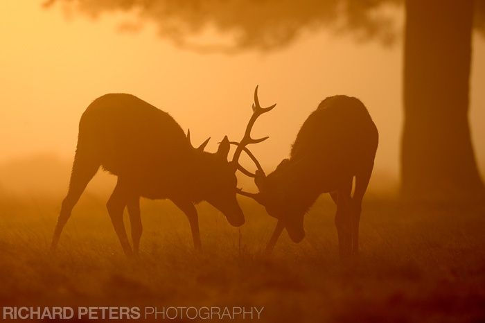 Two deer lock horns as the sun rises up through the autumnal morning fog.