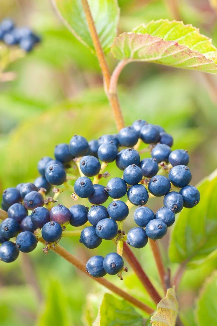Durable Plants For The Garden: 56 Best Images About Shrubs On Pinterest