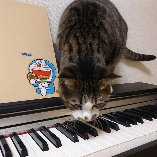 今からピアノのお稽古に行ってきます🎹 最近ピアノの練習を始めると、ライさんに邪魔されます💧 3月17日までに、譜読みが終わらないかも…😱 #猫 #ねこ #cat #catstagram #にゃんすたぐらむ #いんすたねこ #きじとら白 #愛猫 #愛猫同好会 #ふわもこ部 #ねこのいる生活 #ねこのきもち #ねこ好き部 #甘えん坊にゃんこ祭 #練習の邪魔 #必ず鍵盤強打する #練習させて #でも許しちゃう #親バカ