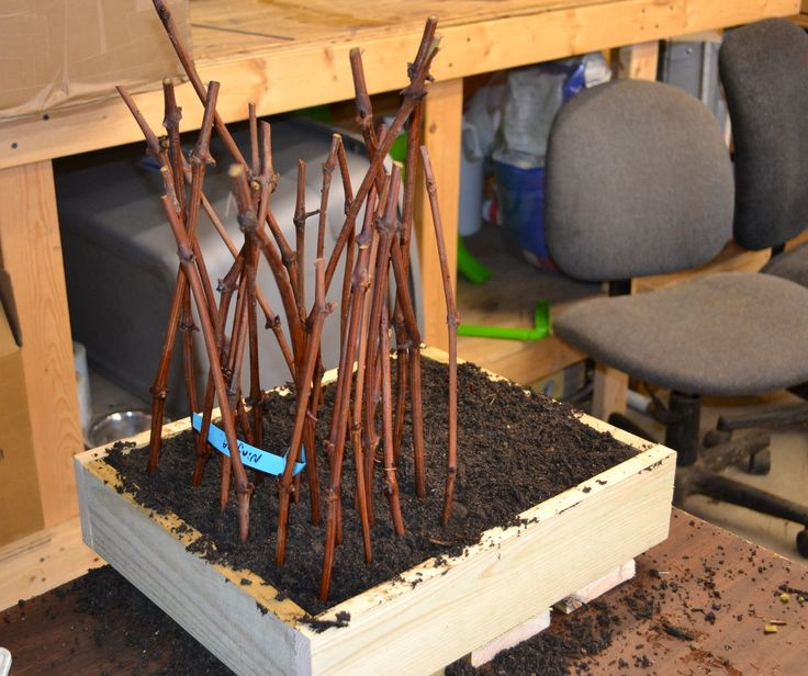 Sticking harwood grape cuttings in a flat of potting soil.