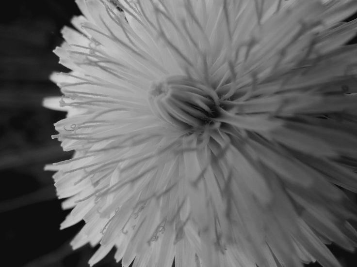 #detail #dandelion #blackandwhite