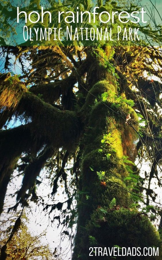 Exploring the Hoh Rainforest in Olympic National Park with kids is so cool. Ancient trees dripping with moss, fungi and herds of Roosevelt elk. 2traveldads.com