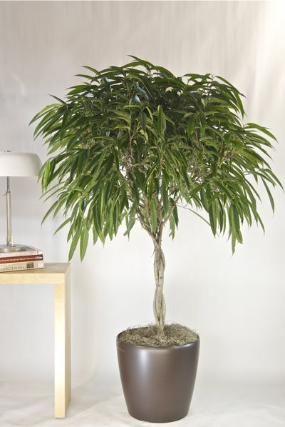 Ficus Alii from Houston Interior plants