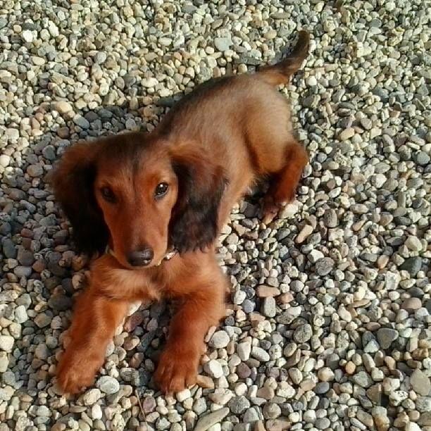 NewSpritz della Canterana - Bassotto a pelo lungo - Puppy