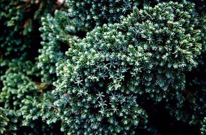 Juniperus squamata (Flaky Juniper) 'Blue Star'. Eveergreen and forms a mat with fragrant leaves.  Height 0.1 to 0.5m spread 1.5 to 2.5m but takes up to 20 years to get there!