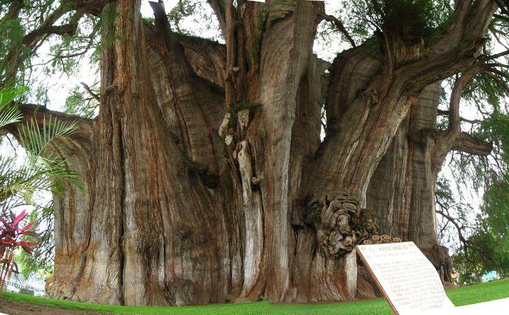 Mexico - Este ahuehuete conocido como el Árbol del Tule, en Oaxaca, es el tronco más grande del mundo, tiene un diámetro de 14.05 metros y un peso aproximado de 636 toneladas.