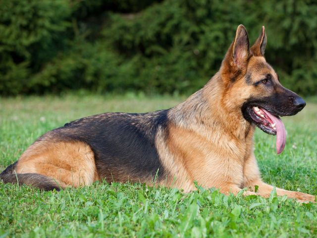 I got: German Shepherd: Courageous and Confident! What Is Your Dog Personality?