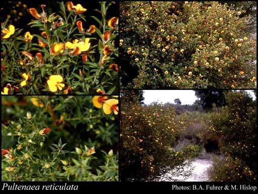 Pultenaea reticulata Size 1.5m Colour yellow Flowers August – November Best seasons Spring, Winter Description Erect dense shrub to 2m high. Occurs around winter wet depressions. Yellow/orange pea flowers winter to spring.