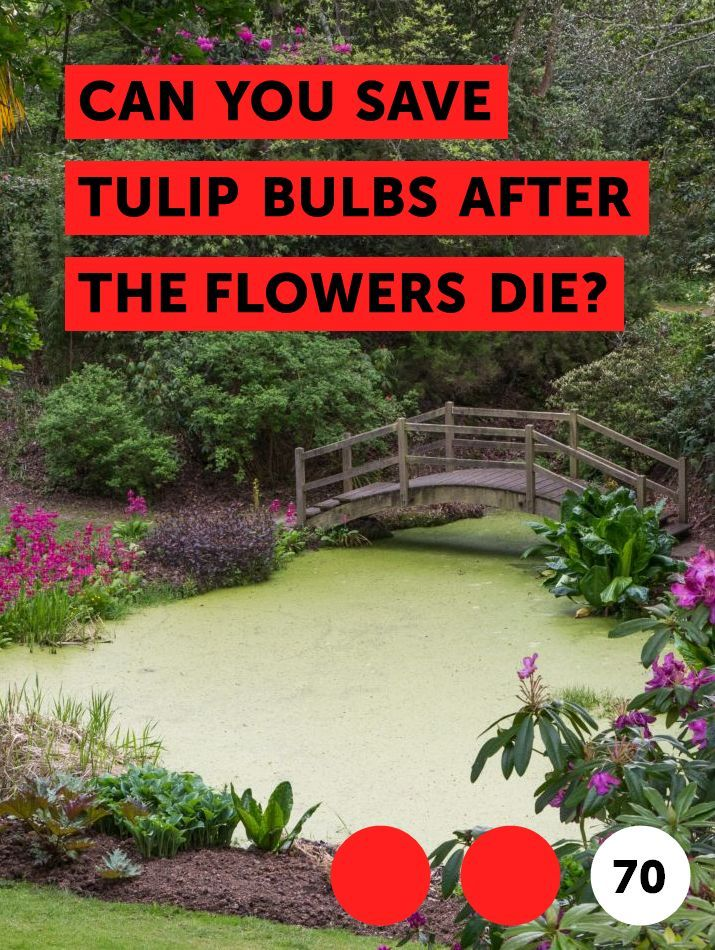 Can You Save Tulip Bulbs After The Flowers Die Flower Garden
