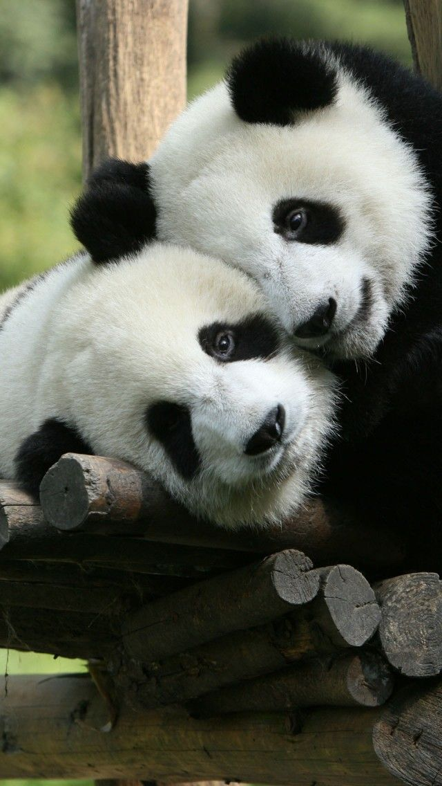 Panda Cuddle * <3