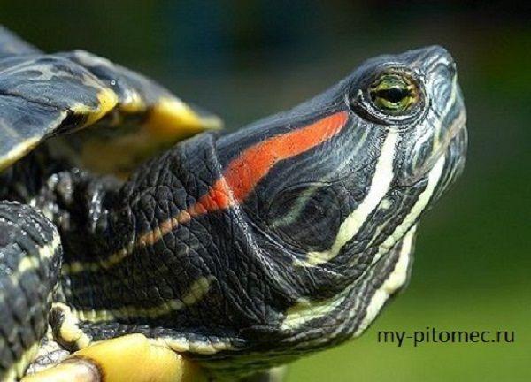 Водная черепаха - содержание и уход