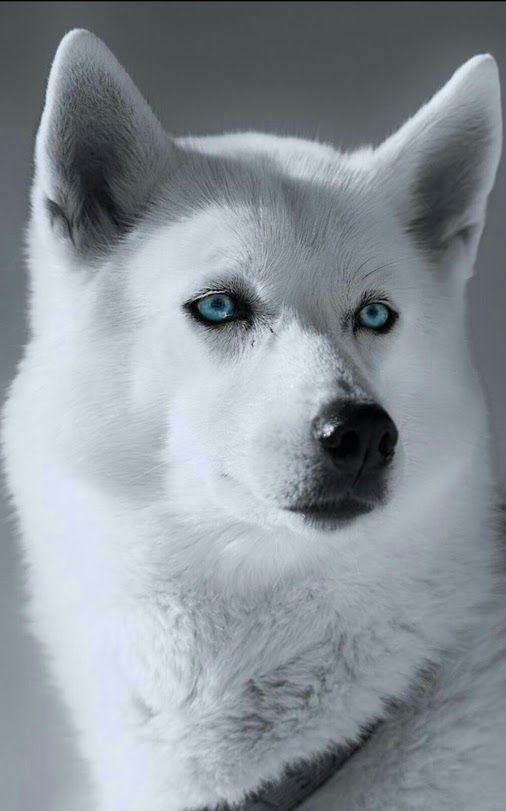 Немецкая овчарка. Моя слабость и радость.  #хаски#Husky#Dogs