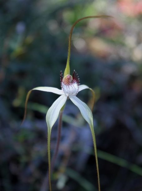 Daddy Long Legs, Caladenia longicauda subsp. borealis; it is endemic to the SW of W AU