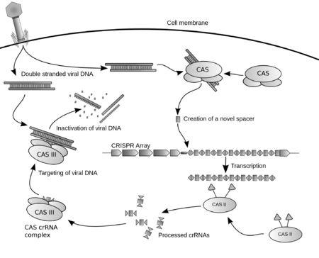 CRISPR - Wikipedia, the free encyclopedia