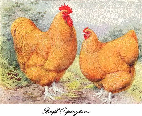 Buff Orpington poultry male and female