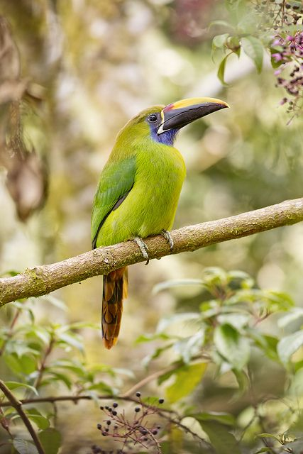Cloud Forest Emerald Toucanet