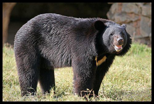 Asiatic Black Bear | Asiatic Black Bear Habitat and Population