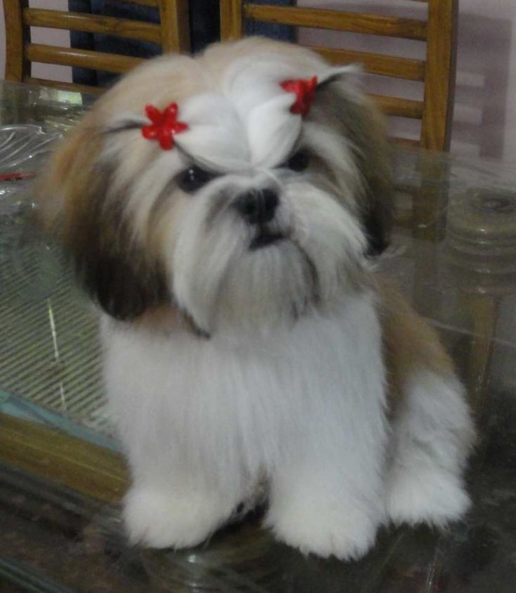 shih tzu pictures of haircuts shih tzu hairstyles for your dearest fur baby best 3473 | 62871fdc45fb4fcaf19c54035da387f4