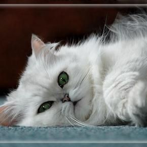 17 Best images about White Fluffy Cats ツ on Pinterest ...